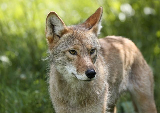 A brown coyote stands in green grass
