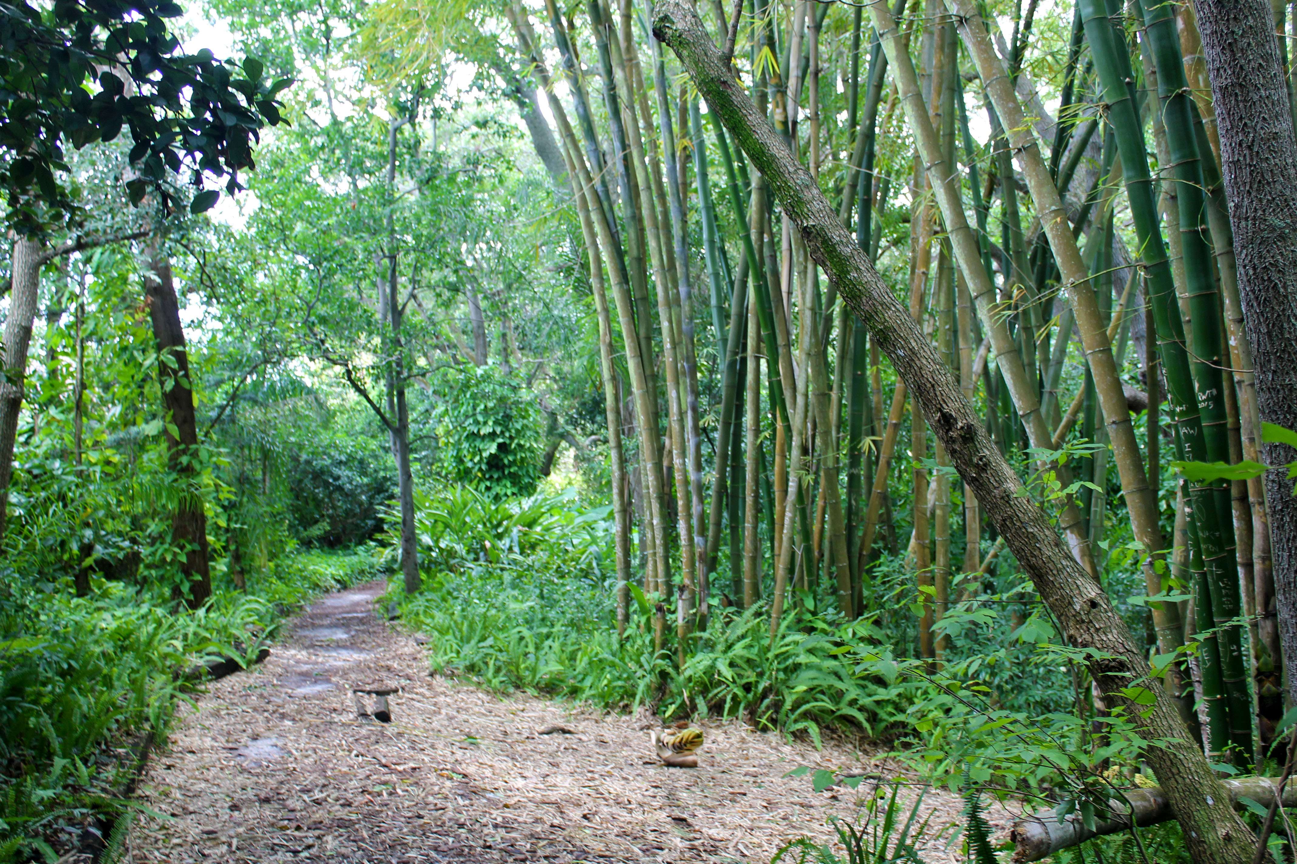 Bamboo trees growing along the walking path in Nature Park