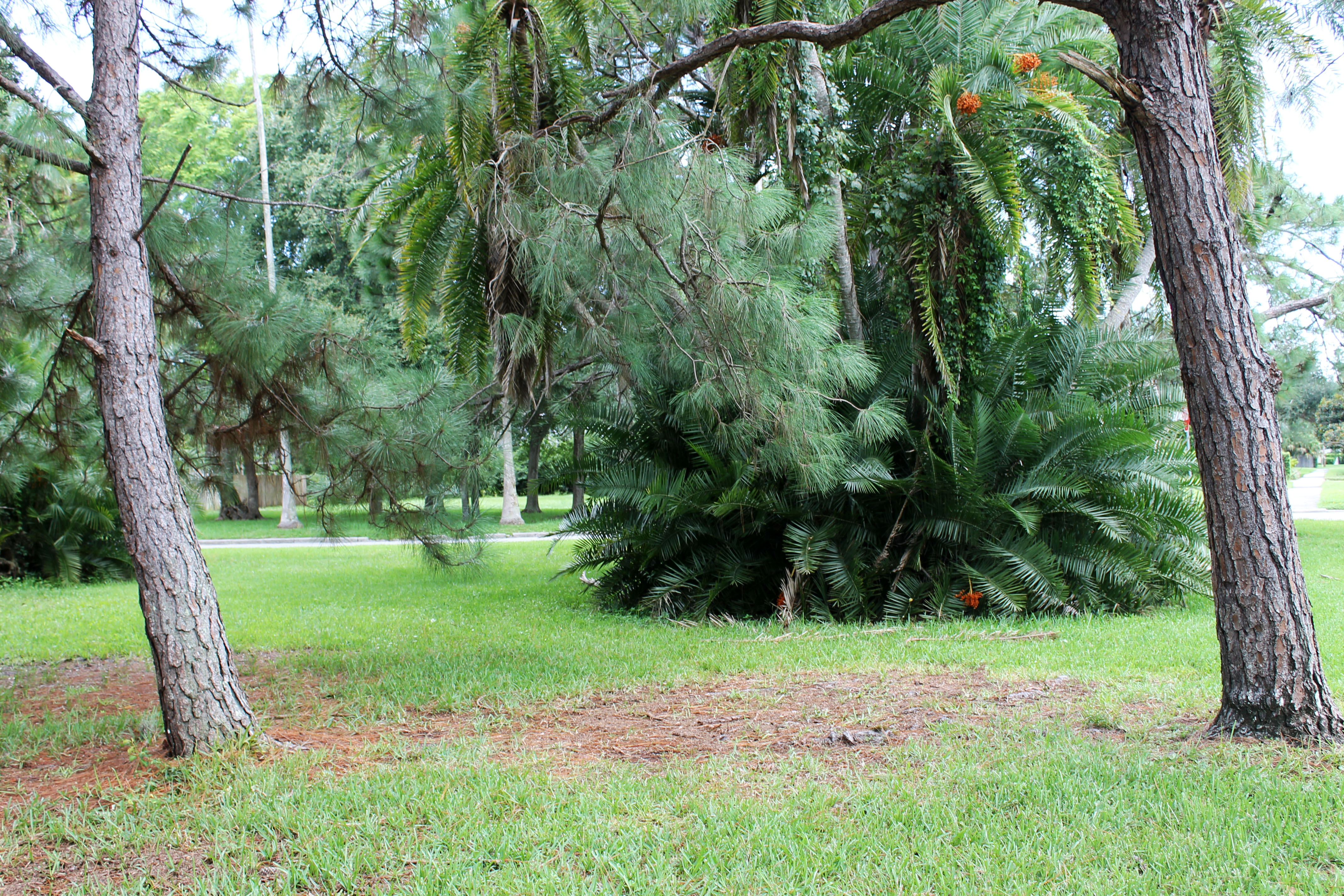 Two pine trees in Pinellas Park with a large shrub in the background