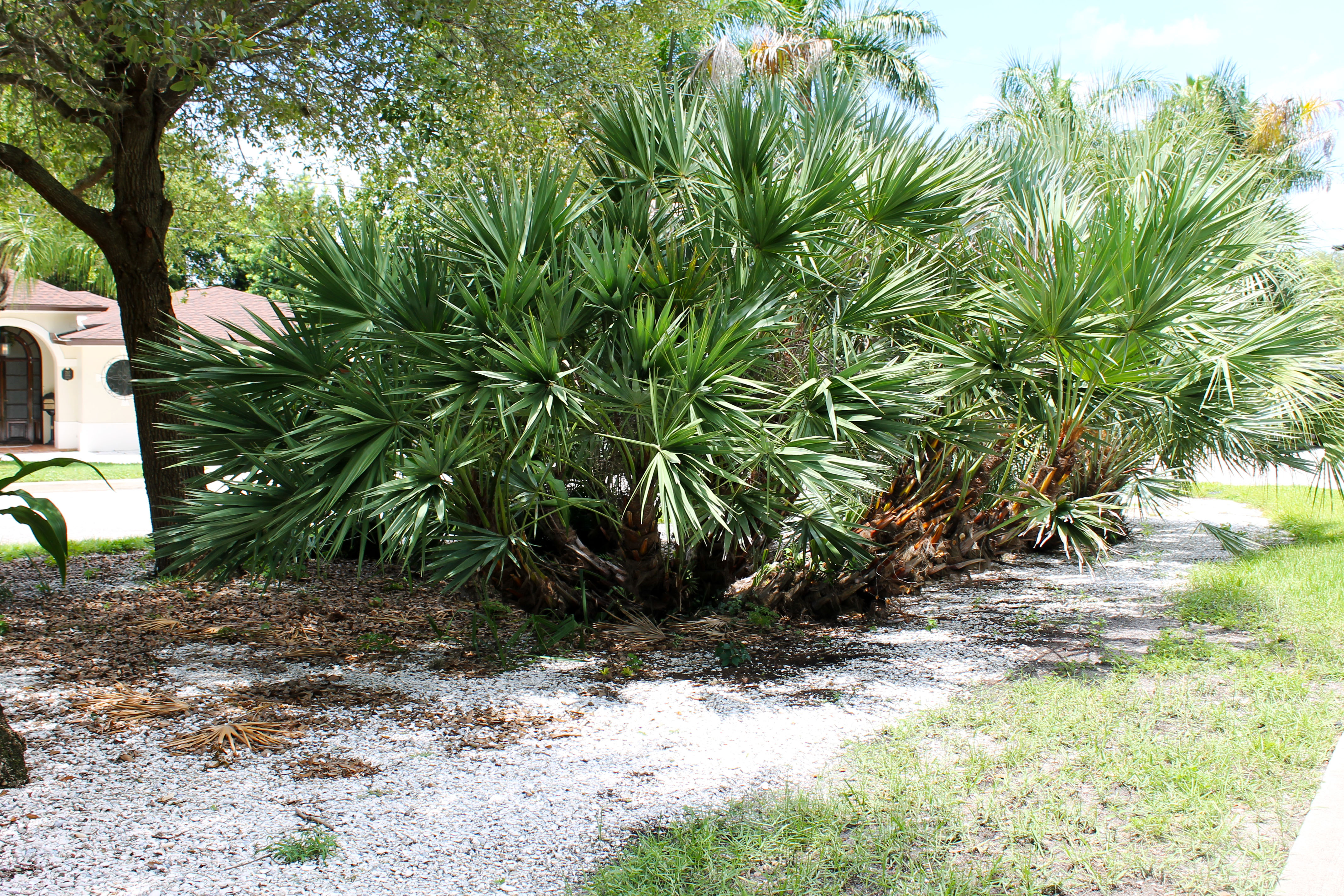 Large palm shrubs surrounded by shells in Garden Circle Park